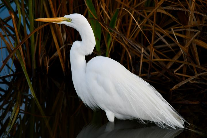 Great Egret by the Reeds - RMB Photography