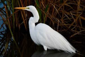 Great Egret by the Reeds