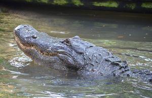 Big Grin From a Big Alligator