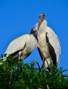 Mated Wood Stork Pair