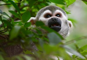 Squirrel Monkey Looking Up