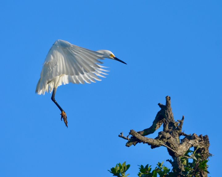 Snowy Egret Cleared for Landing - RMB Photography