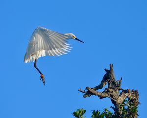 Snowy Egret Cleared for Landing