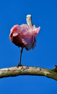 Roseate Spoonbill Pretty in Pink
