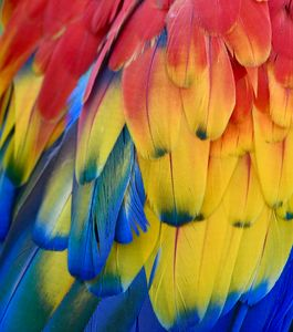 Close Up Colorful Parrot Feathers