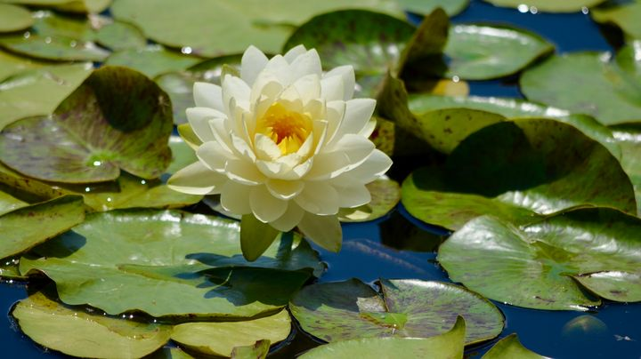 Beauty of a Waterlily - RMB Photography