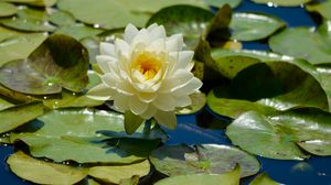 Beauty of a Waterlily