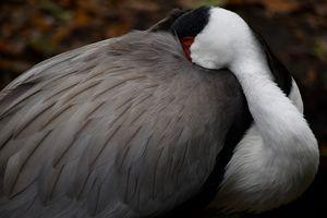 Wattled Crane Resting