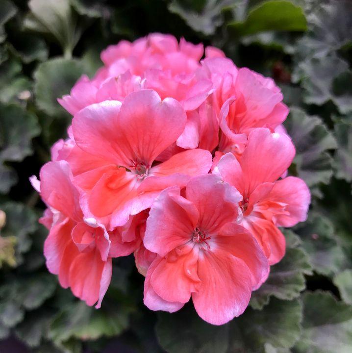Gorgeous Geraniums - RMB Photography