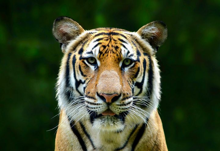 Eyes of the Tiger - RMB Photography