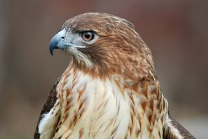 Red Tail Hawk Profile
