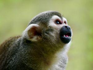 Curious Squirrel Monkey