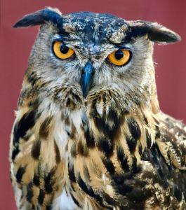 Eurasian Eagle Owl - RMB Photography