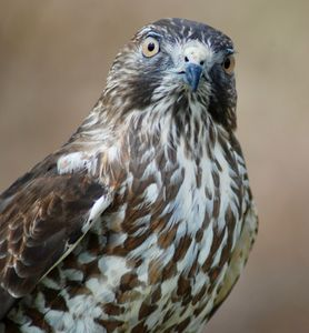 Curious Norman the Broad Winged Hawk