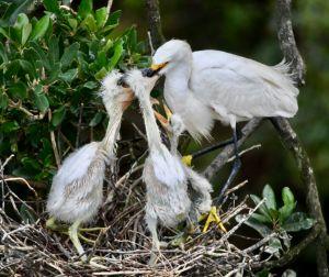 Breeakfast Time for Egrets