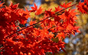 Maple Leaves in the Autumn Sun - RMB Photography