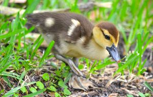Precious Little Duckling