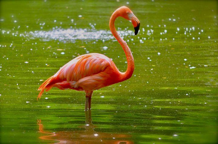 Florida Flamingo - RMB Photography