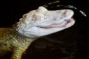 Smiling Albino Alligator