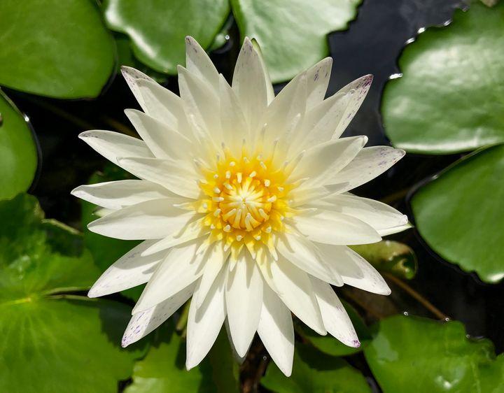 Wonderful White Waterlily - RMB Photography
