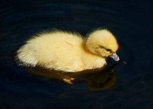 Duckling Goes for a Swim