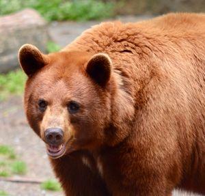 Cinnamon Black Bear - RMB Photography