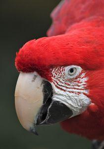 Up Close Macaw
