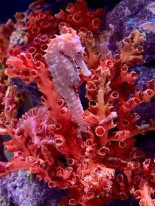 Seahorse in the Corals