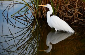 Egret Reflecting by the Reeds - RMB Photography
