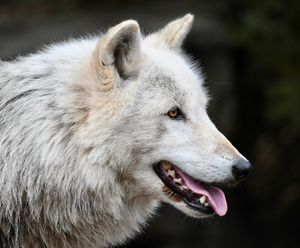 Handsome Wolf Profile - RMB Photography