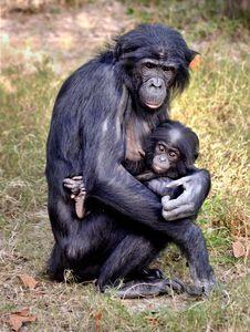 Bonobo and Baby - RMB Photography