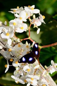 Great Eggfly Butterfly - RMB Photography