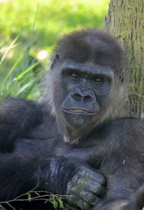 Gorgeous Smiling Gorilla - RMB Photography