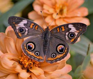 Beautiful Buckeye Butterfly