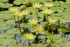 Cluster of Yellow Waterlilies