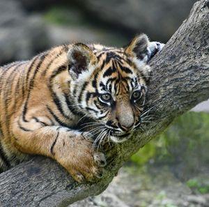 Curious Tiger Cub