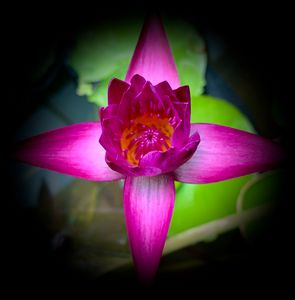 Colorful Waterlily with Vignette