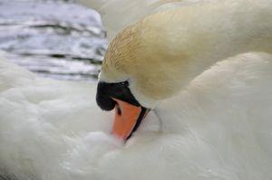 Beautiful Preening Swan