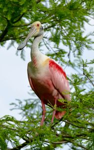 Roseate Spoonbill on a Branch