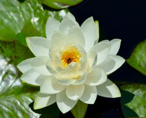 White Waterlily Happy Bee