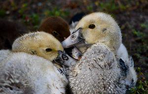 Three Duckateers