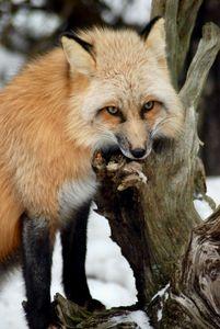 Sierra the Fox