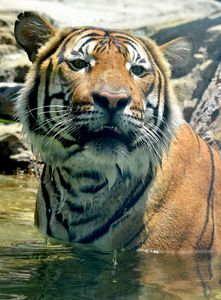 One Cool Tiger