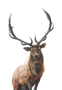 Winter the elk