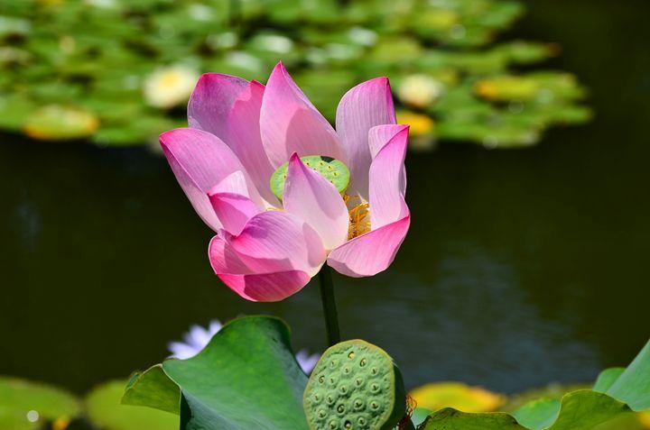 The Lotus Plant - Frozen Face