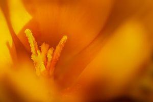 Orange crocus closeup