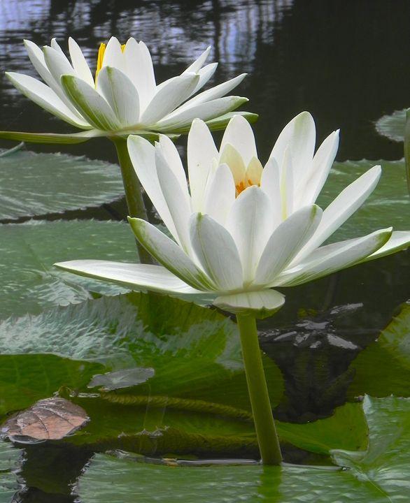 Lotus - Apachula Photography