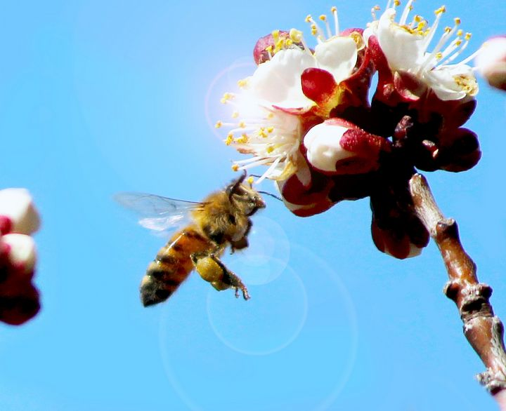 Honey Bee - Apachula Photography