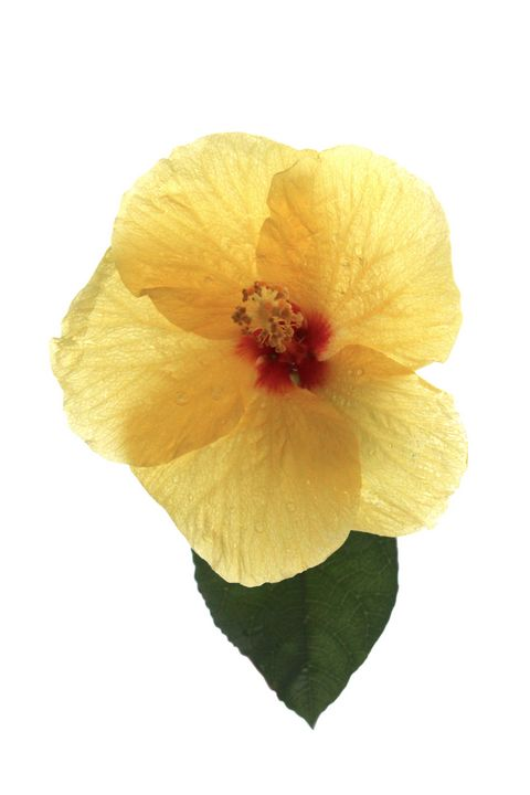 Yellow Hibiscus - Apachula Photography