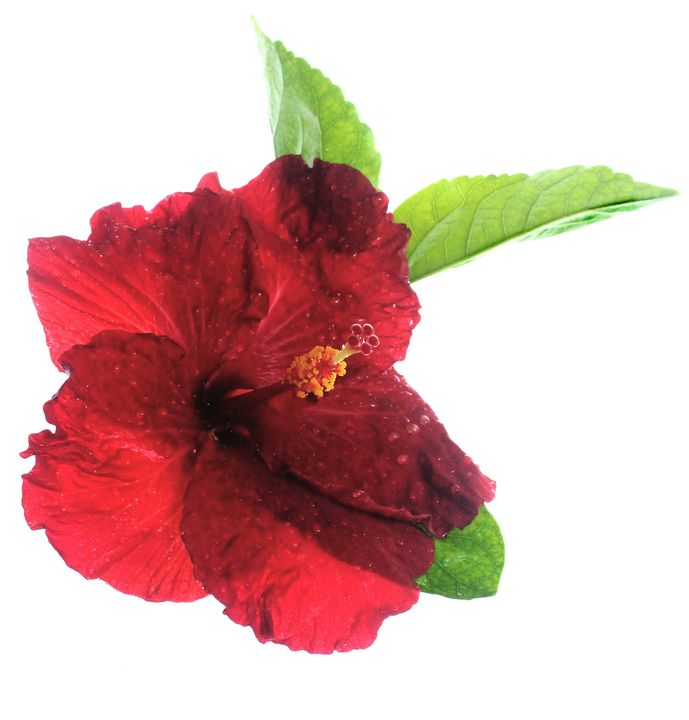 Red Hibiscus - Apachula Photography